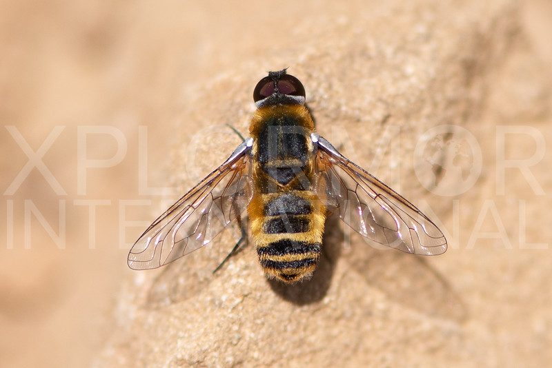 Banded Bee Fly