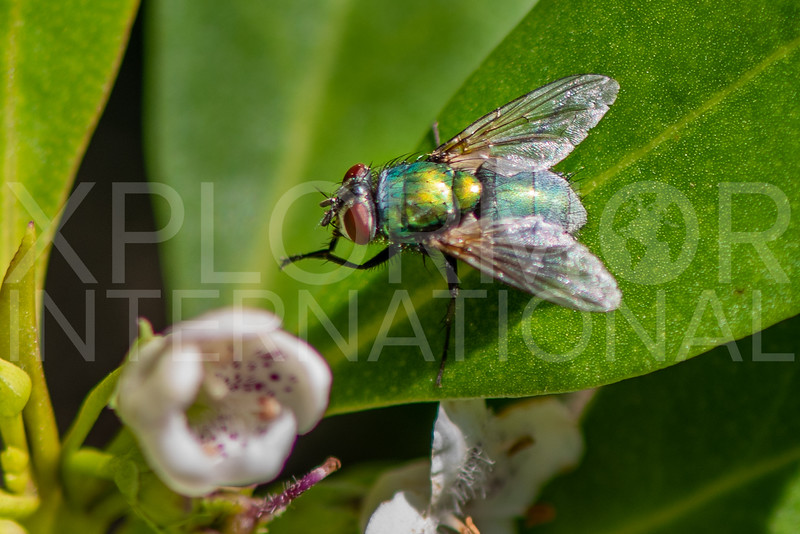 Greenbottle Fly - Need ID
