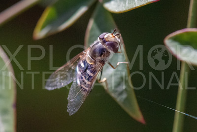 Hover Fly - Needs ID