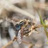 Greater Bee Fly - Need ID