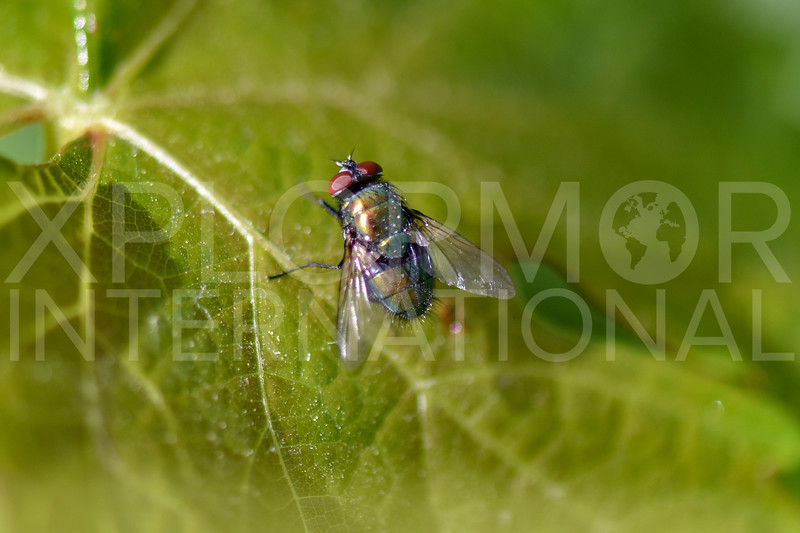 Common Green Bottle Fly