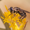 Fly (Unidentified)