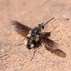 Greater Bee Fly - Need ID