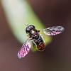 Black-backed Grass Skimmer