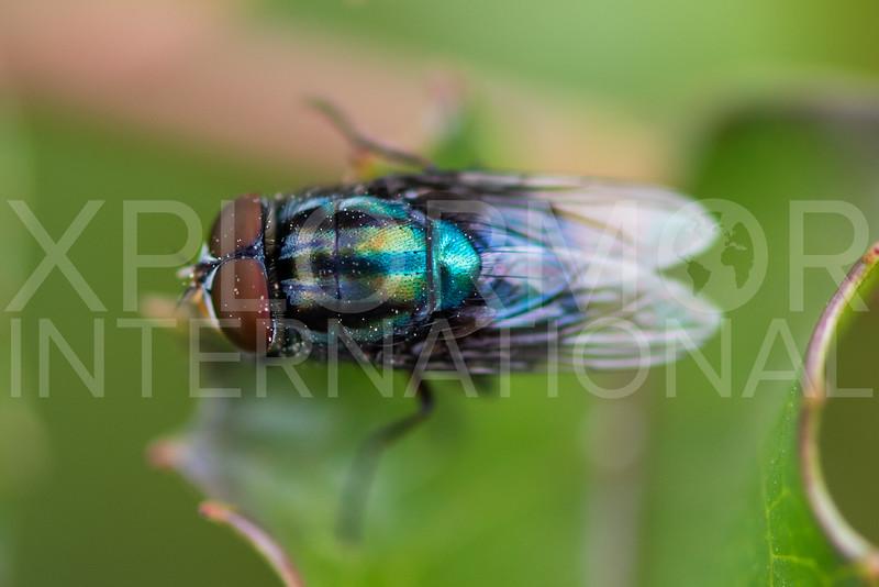 Screwworm Fly - Need ID
