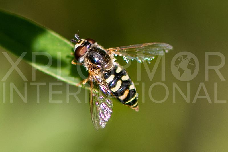 Bird Hover Fly