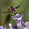 Bee Fly - Need ID
