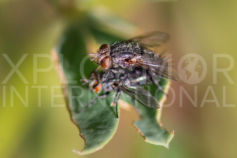 Flies (Mating) - Need ID