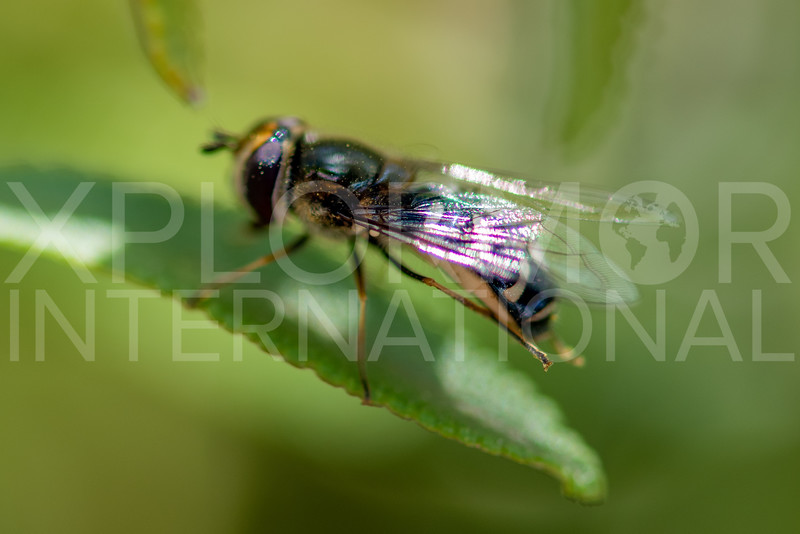 Holarctic Pied Hover Fly