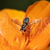 Hover Fly - Need ID