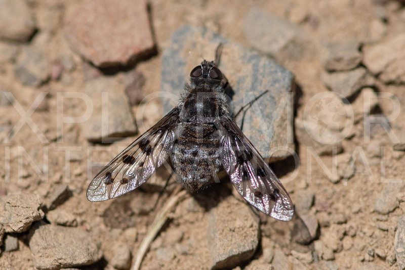 Anthrax Bee Fly