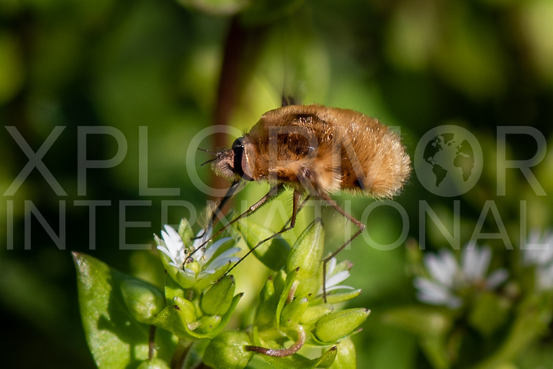 Bee Fly - Needs ID