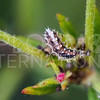 Hover Fly Larva