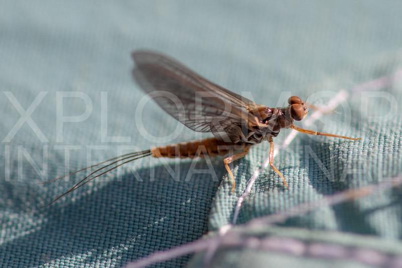 Spiny Crawler Mayfly - Need ID