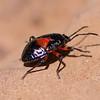 Bordered Plant Bug (Nymph) - Need ID