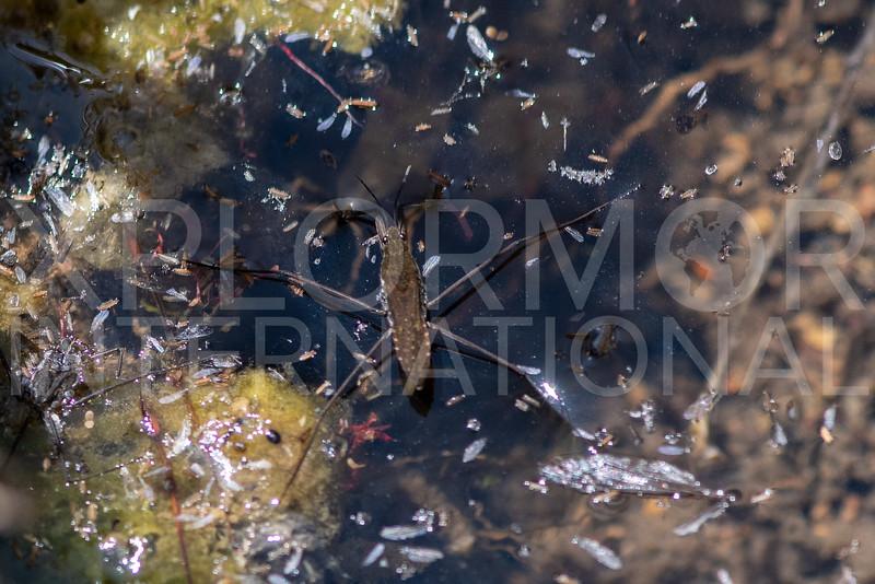 Common Water Strider
