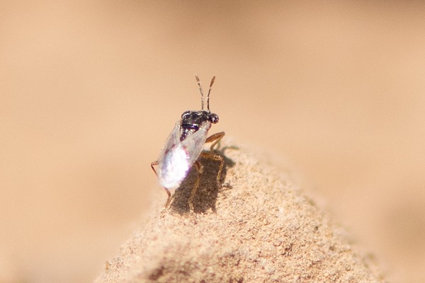 Western Big-eyed Bug