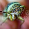 Florida Keys' Scrub Cicada