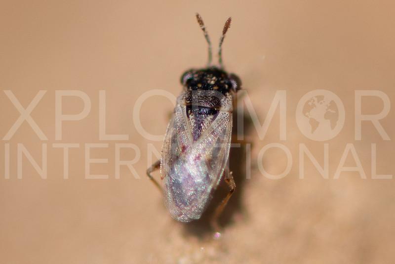 Western Big-eyed Bug