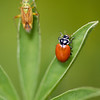 Potato Mirid and Convergent Lady Beetle