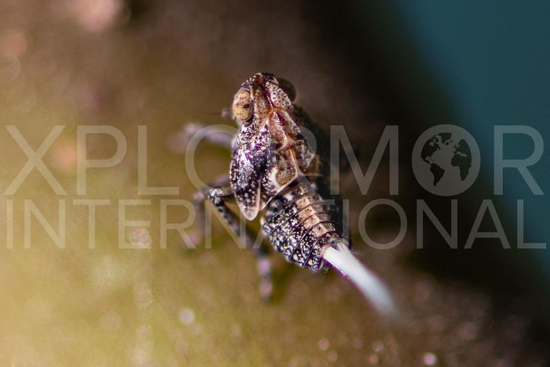 Planthopper - Need ID