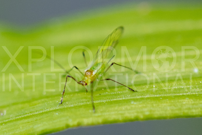 Aphid - Need ID