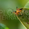 Yellow Assassin Bug