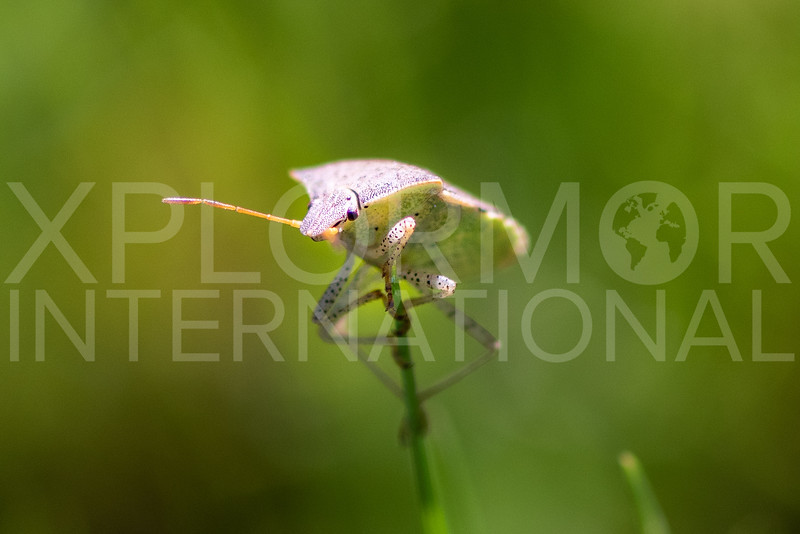 Stink Bug - Need ID