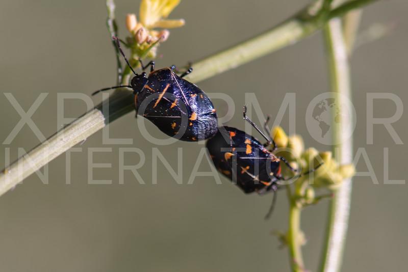 Harlequin Bug (Mating Pair)
