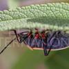California Bordered Plant Bug