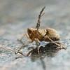 Upright-winged Hopper - Need ID