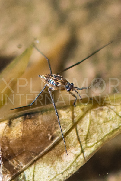 Common Water Strider (Nymph)