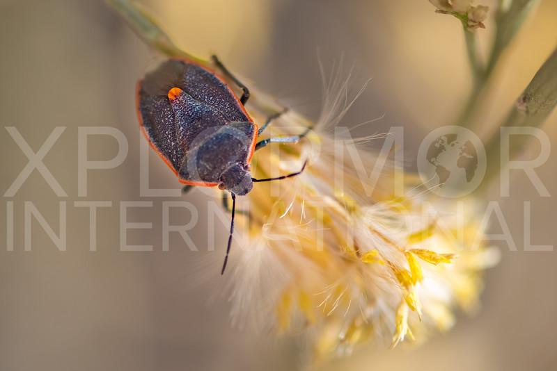Conchuela Bug