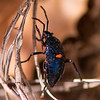 California Bordered Plant Bug (Nymph)