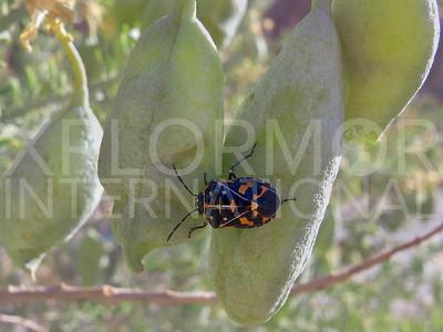 Harlequin Bug 2