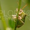 Brown Stink Bug