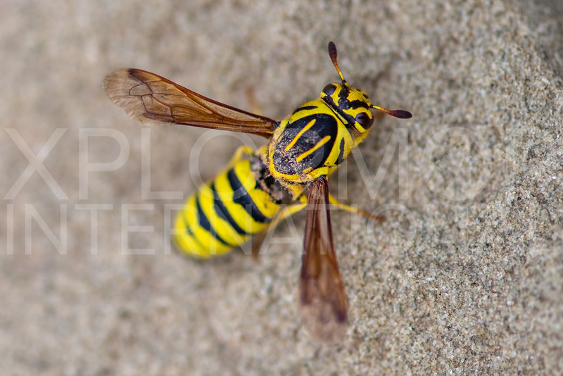 Pollen Wasp - Need ID