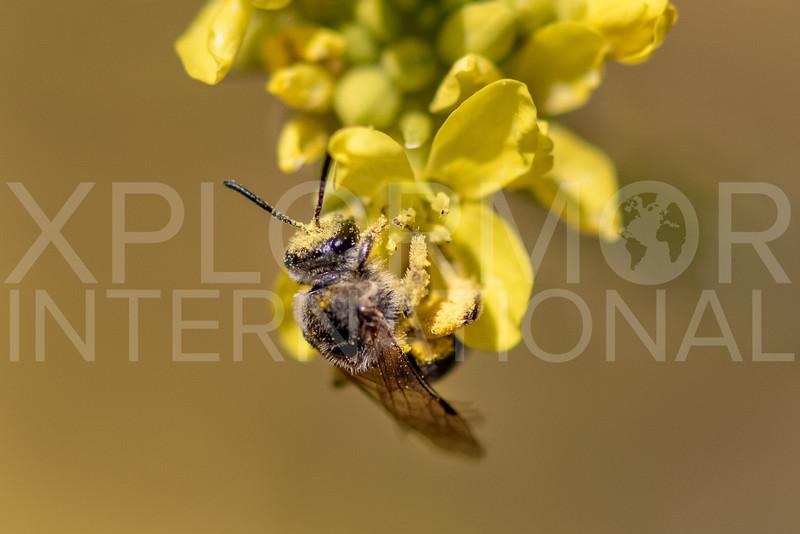 Tansy Mustard Sweat Bee