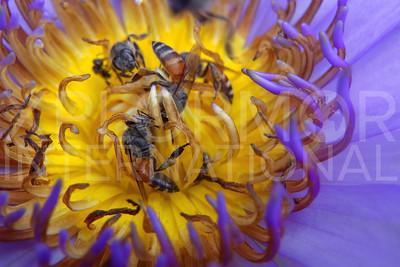 Eastern Honey Bee 2
