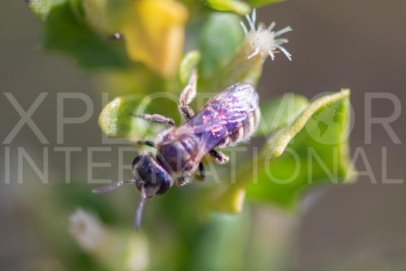 Tripartite Sweat Bee