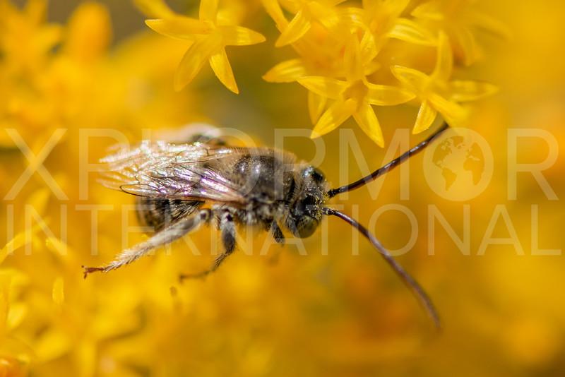 Long-horned Bee - Need ID