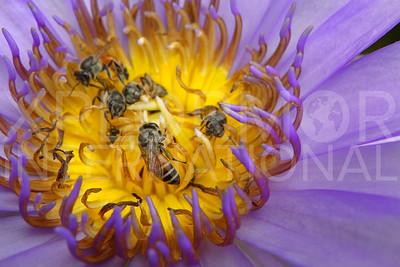 Eastern Honey Bee