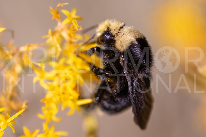 Yellow-faced Bumble Bee