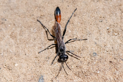 Thread-waisted Sand Wasp