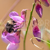 Van Dyke's Bumble Bee on Common Pacific Pea