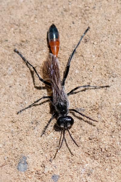 Thread-waisted Sand Wasp - NEED ID