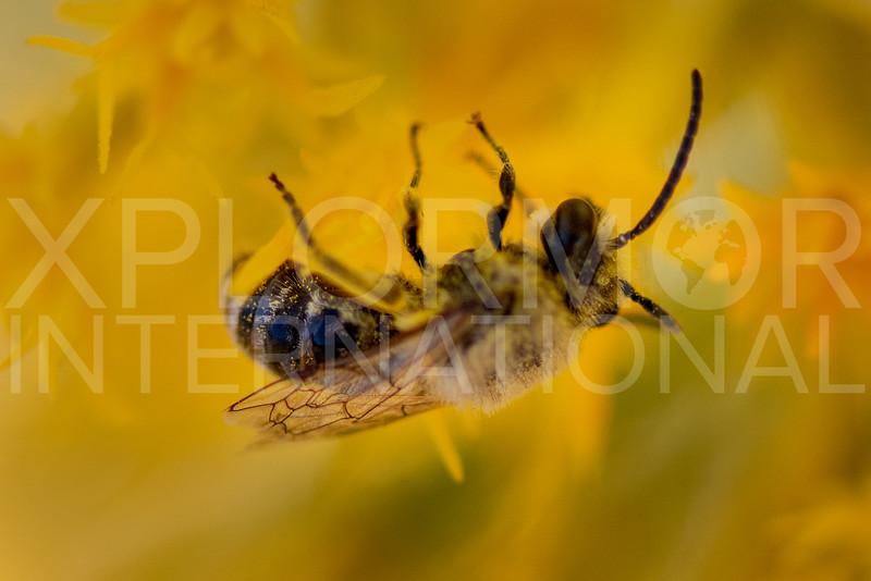 Cellophane Bee - Need ID