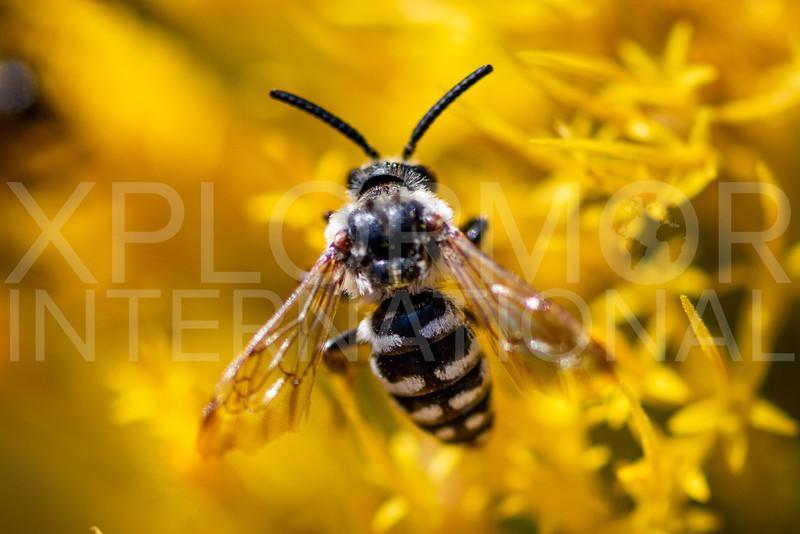 California Cuckoo Bee