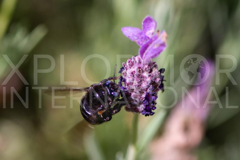 Foothill Carpenter Bee