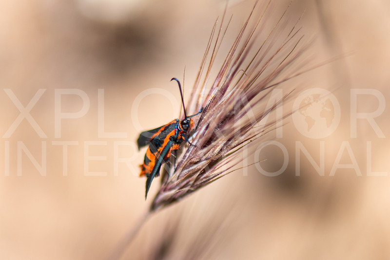 Buckwheat Root Borer Moth